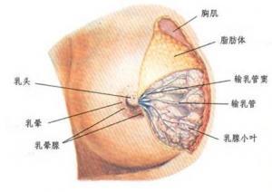 产后胸部萎缩下垂